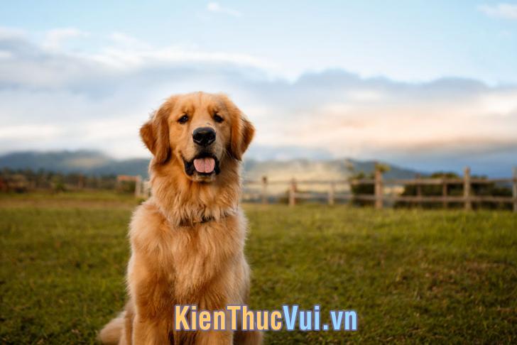 Chó Golden Ritriever