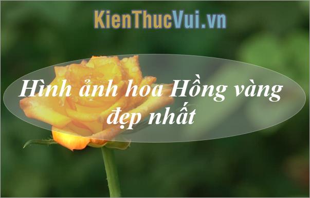 Hoa Hồng vàng đẹp - Những hình ảnh hoa Hồng vàng đẹp nhất