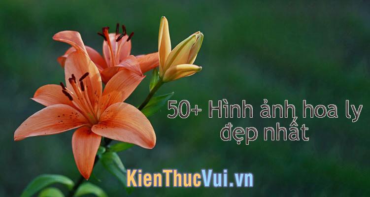 50+ Ảnh hoa Ly đẹp nhất