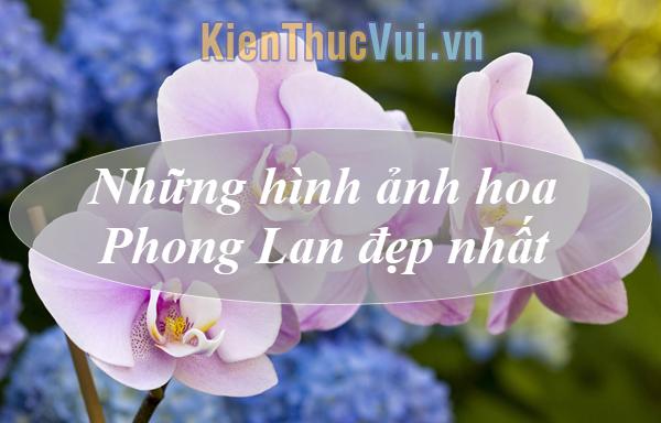 Hoa Phong Lan đẹp - Tổng hợp những hình ảnh hoa Phong Lan đẹp nhất