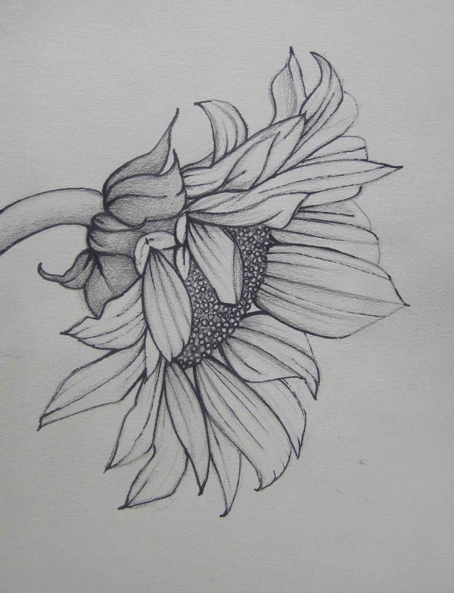 Bức tranh vẽ hoa Hướng Dương bằng chì đẹp nhất