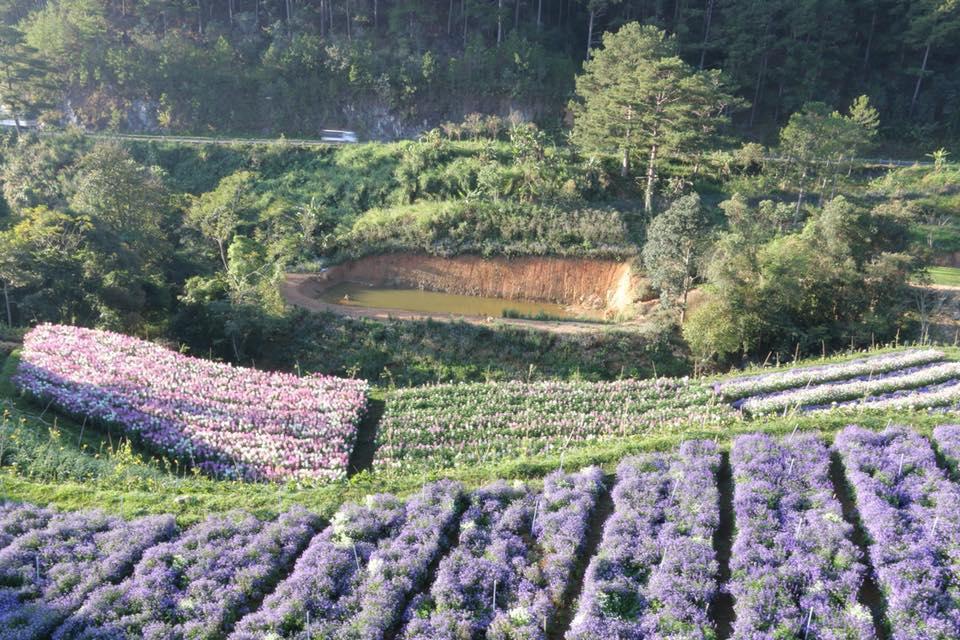 Cánh đồng hoa Lavender ở Đà Lạt
