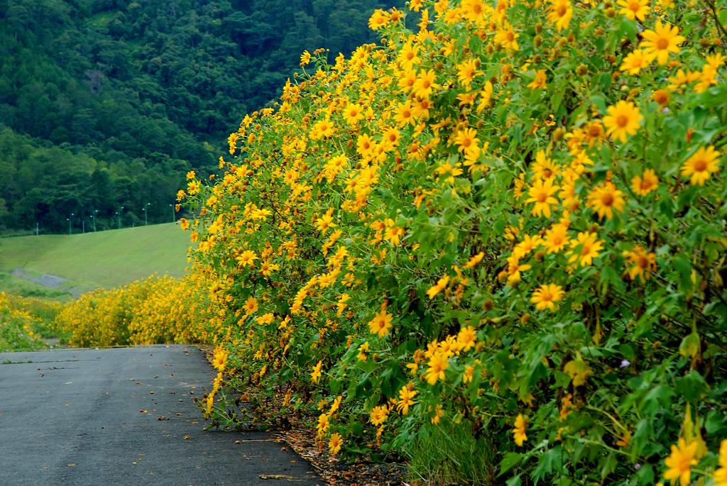 Con đường hoa Dã Quỳ Đà Lạt