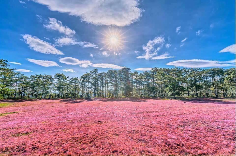 Đồi cỏ hồng Đà Lạt đẹp