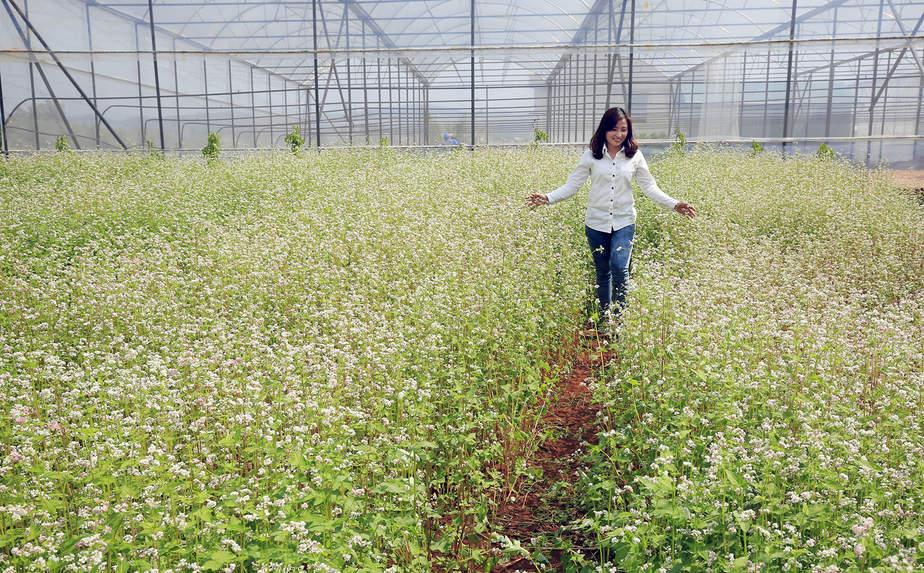 Hoa tam giác mạch Đà Lạt