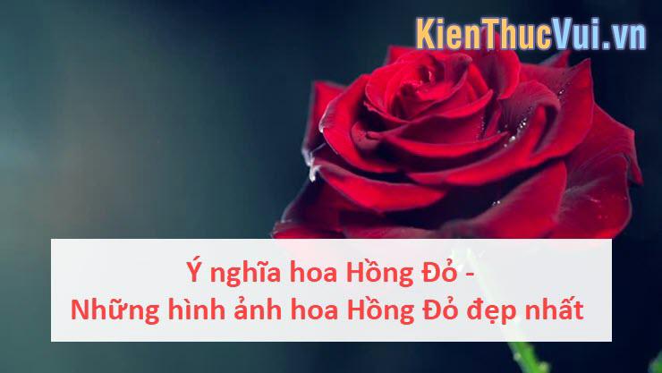 Ý nghĩa hoa Hồng Đỏ - Những hình ảnh hoa Hồng Đỏ đẹp nhất