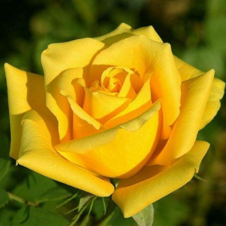 Ảnh bông hoa hồng vàng đẹp nhất