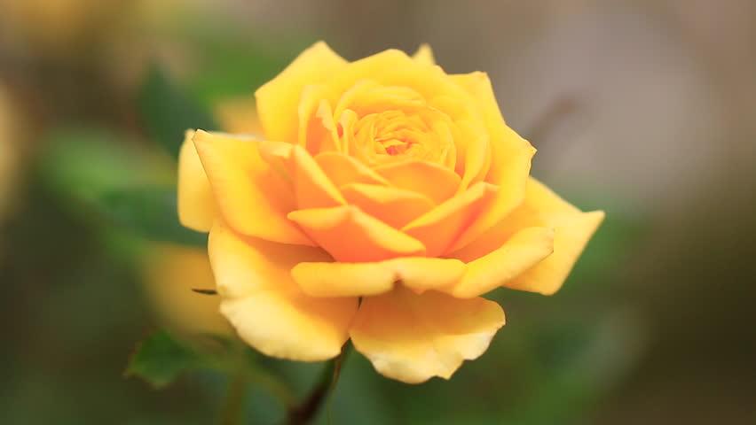 Ảnh bông hoa hồng vàng đẹp