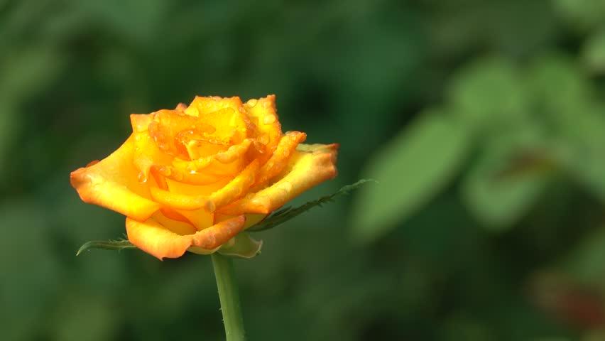 Ảnh bông hoa hồng vàng