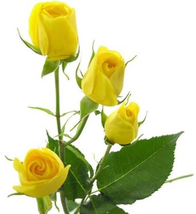 Ảnh đẹp về hoa hồng vàng