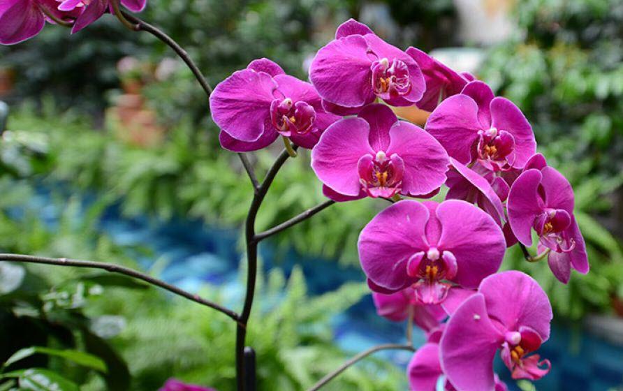 Ảnh đẹp về Hoa Phong Lan