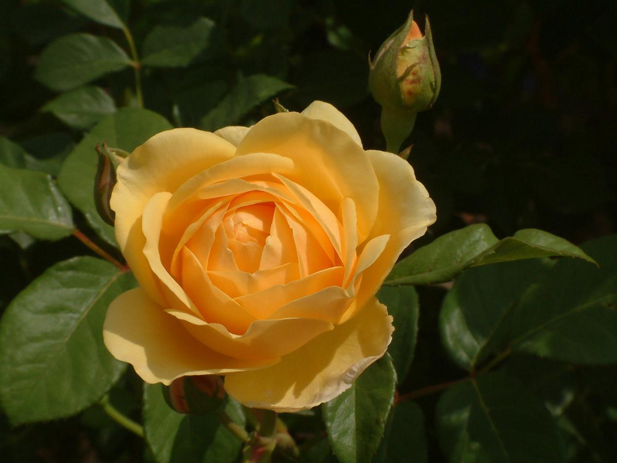 Ảnh hoa hồng vàng đà lạt