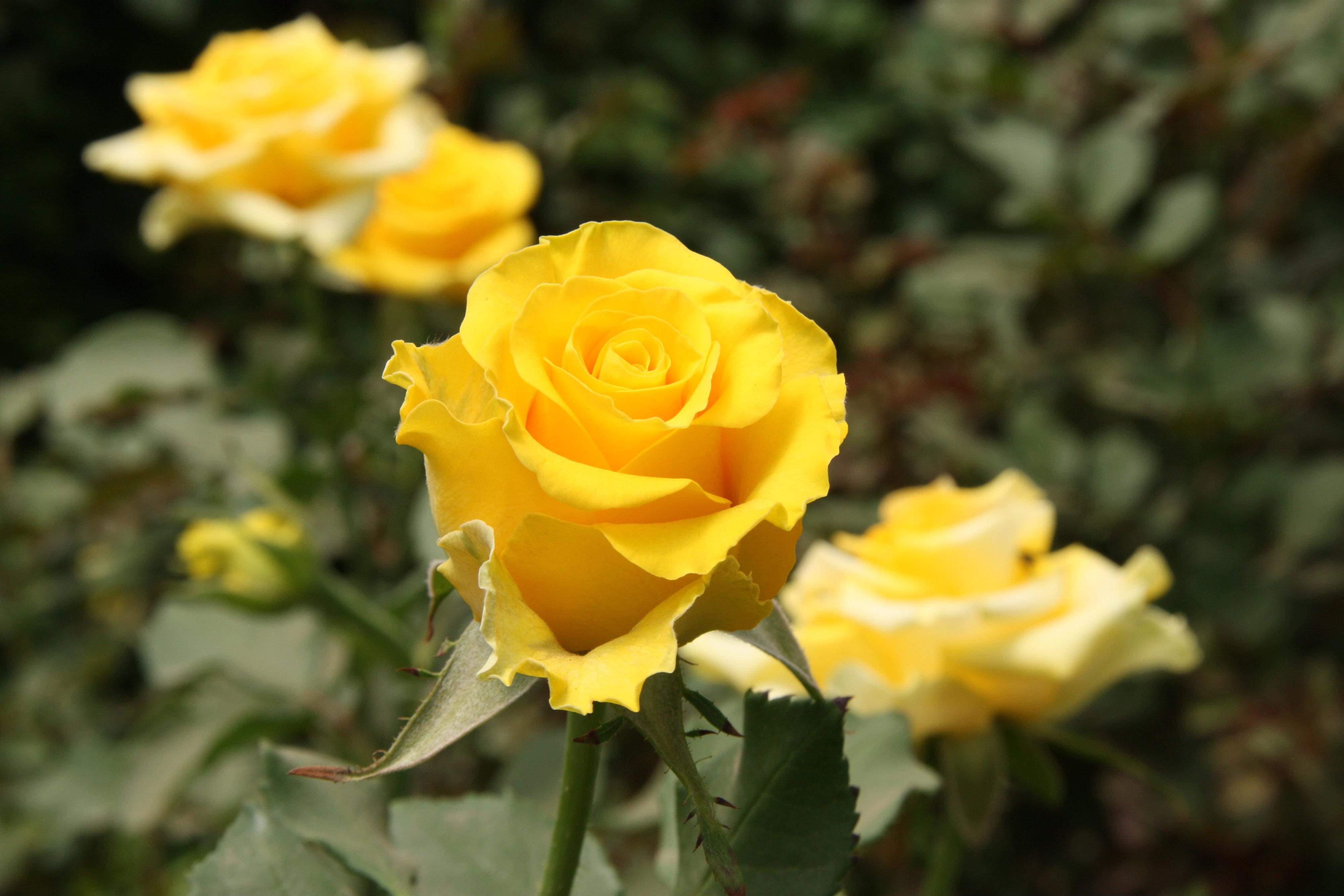 Ảnh hoa hồng vàng đẹp nhất