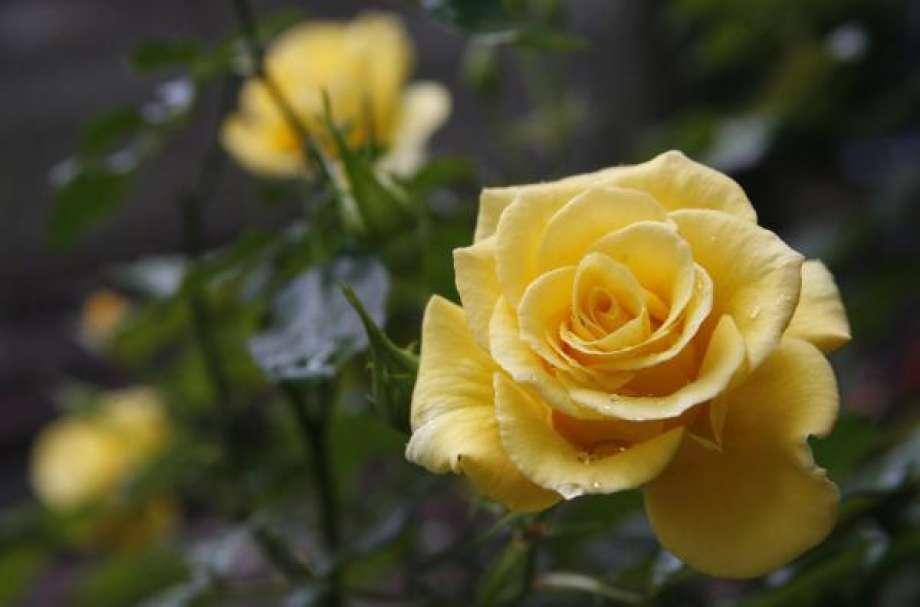 Ảnh hoa hồng vàng đẹp