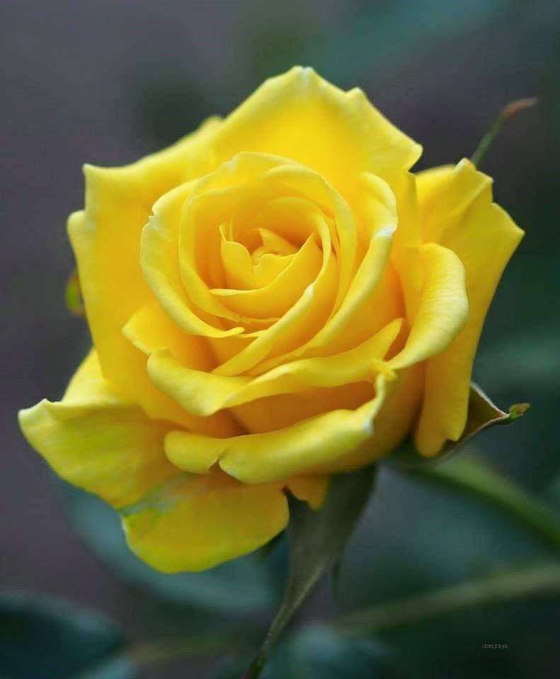 Ảnh hoa hồng vàng