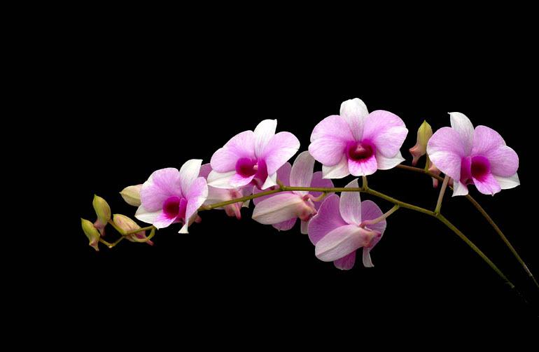 Ảnh Hoa Phong Lan đẹp nhất thế giới