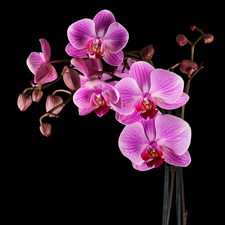 Ảnh Hoa Phong Lan đẹp nhất