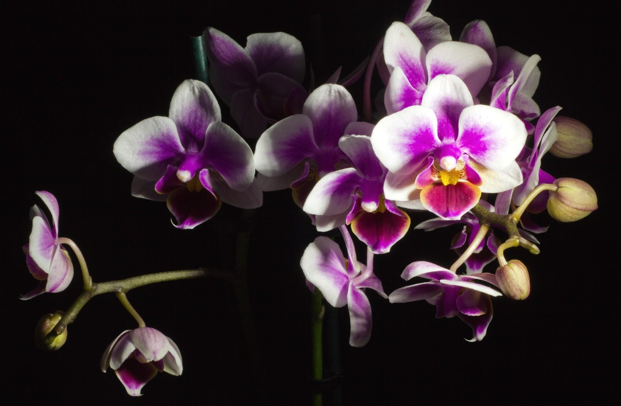 Ảnh hoa Phong Lan đẹp