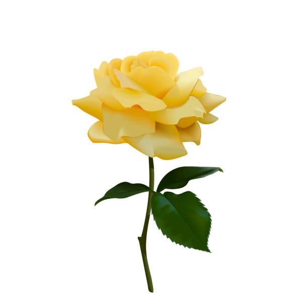 Bông hồng vàng