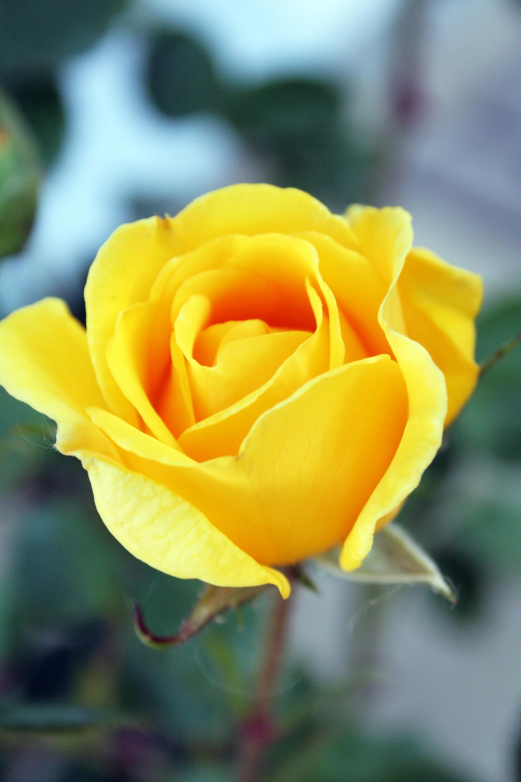 Các hình ảnh hoa hồng vàng đẹp