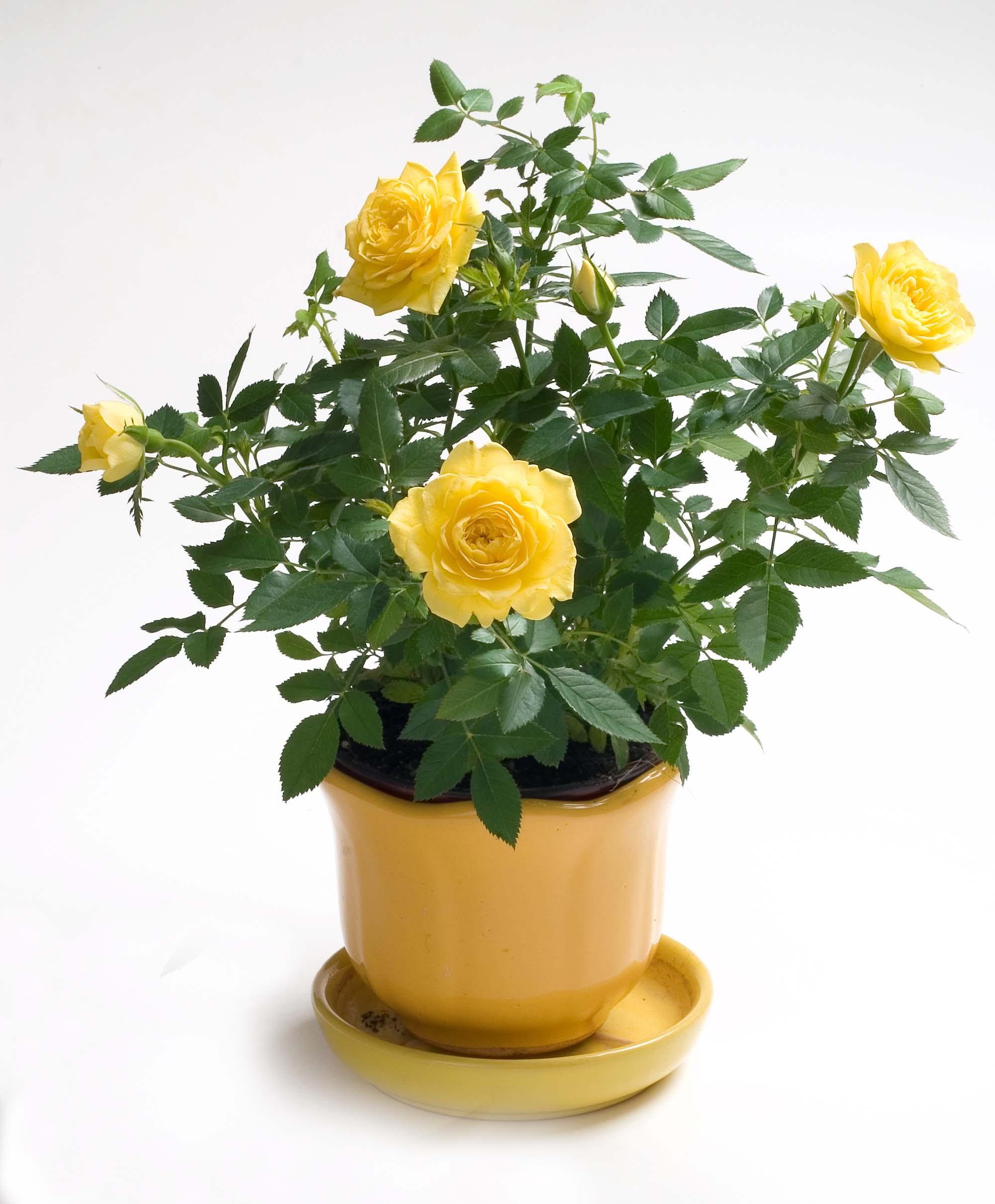 Cây hoa hồng màu vàng
