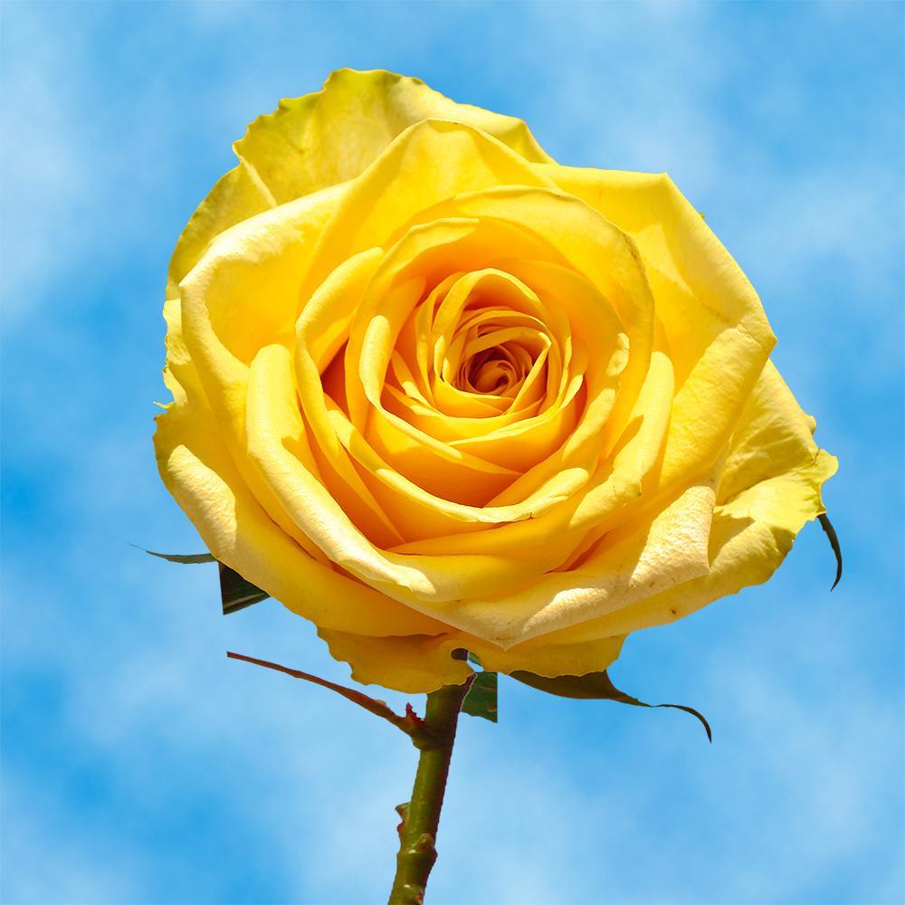 Hình ảnh bông hoa hồng vàng