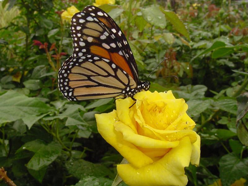 Hình ảnh bướm hoa đẹp
