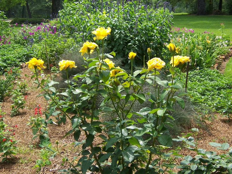 Hình ảnh cây hoa hồng vàng đẹp