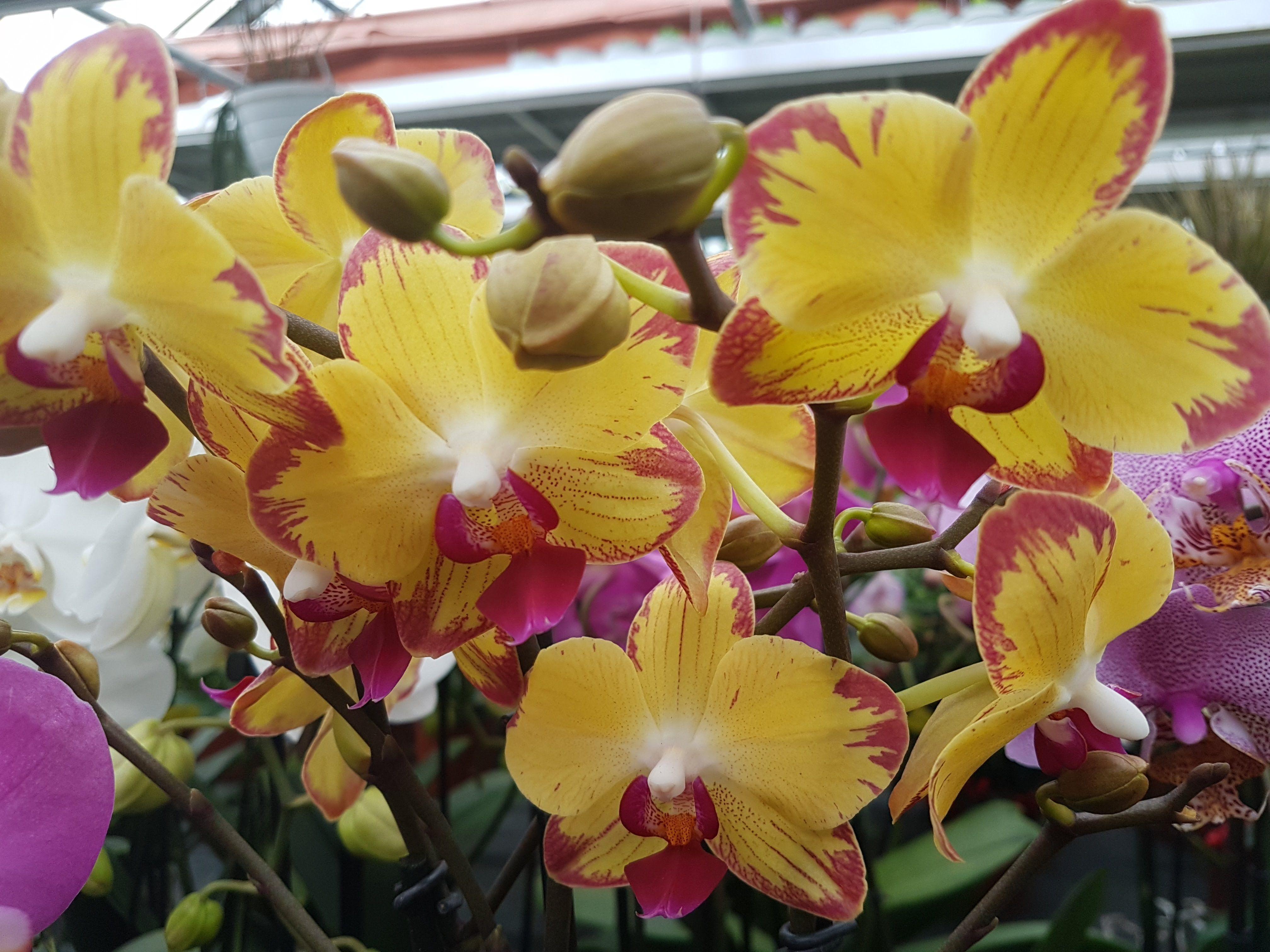 Hình ảnh đẹp về hoa Phong Lan