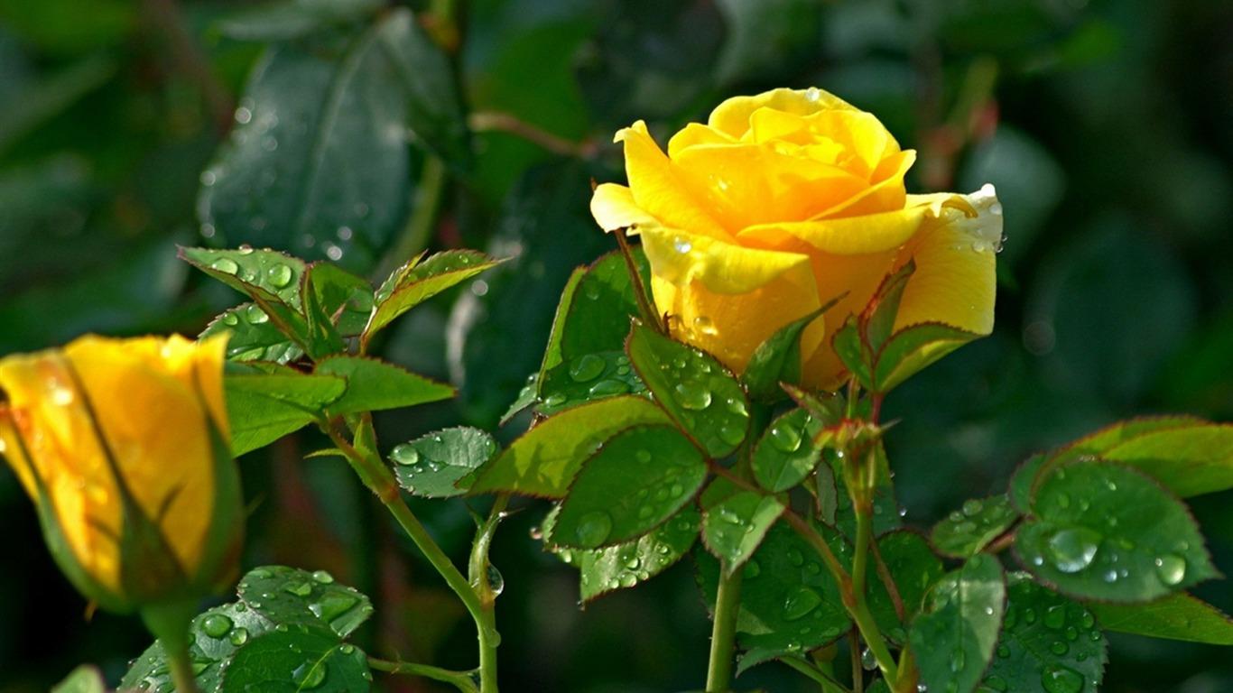 Hình ảnh hoa hồng đẹp nhất
