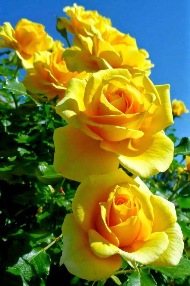 Hình ảnh hoa hồng màu vàng