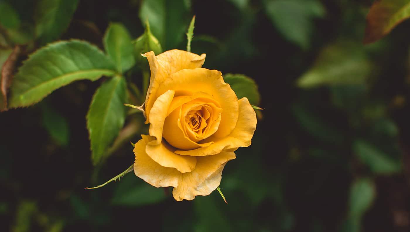 Hình ảnh hoa hồng vàng cực đẹp