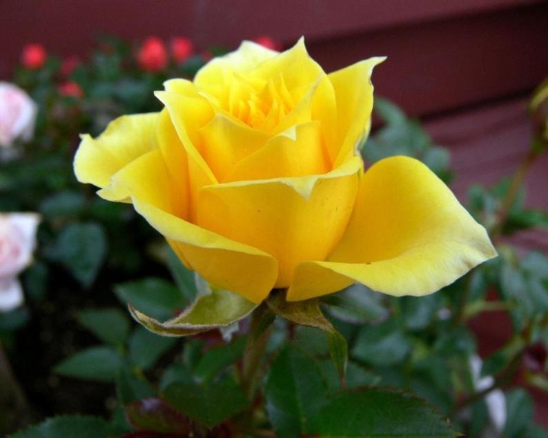 Hình ảnh hoa hồng vàng đẹp nhất