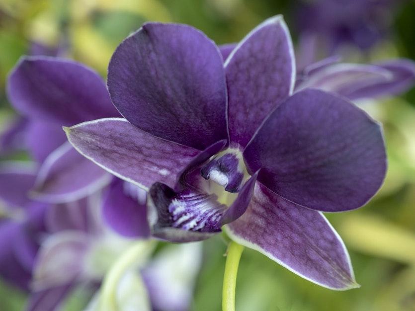 Hình ảnh hoa Lan đẹp