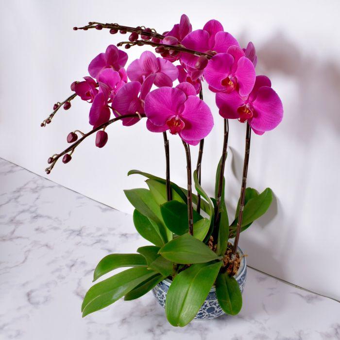 Hình ảnh hoa lan Hồ Điệp