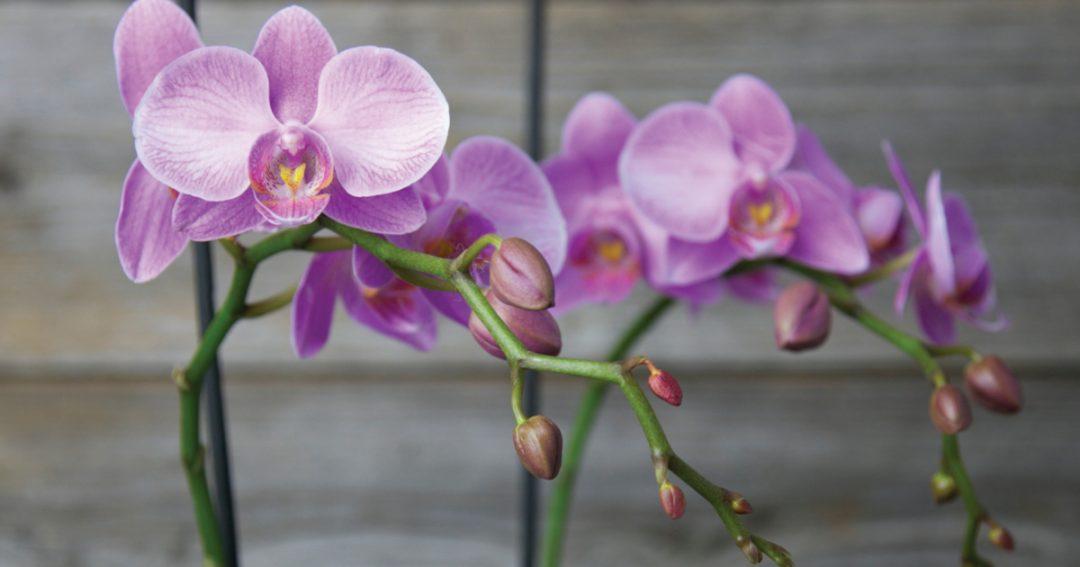 Hình ảnh hoa Phong Lan đẹp