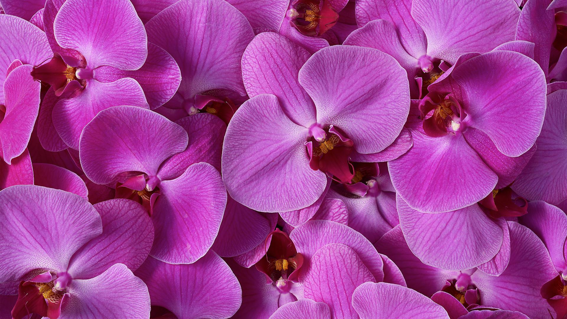 Hình ảnh Hoa Phong Lan tuyệt đẹp