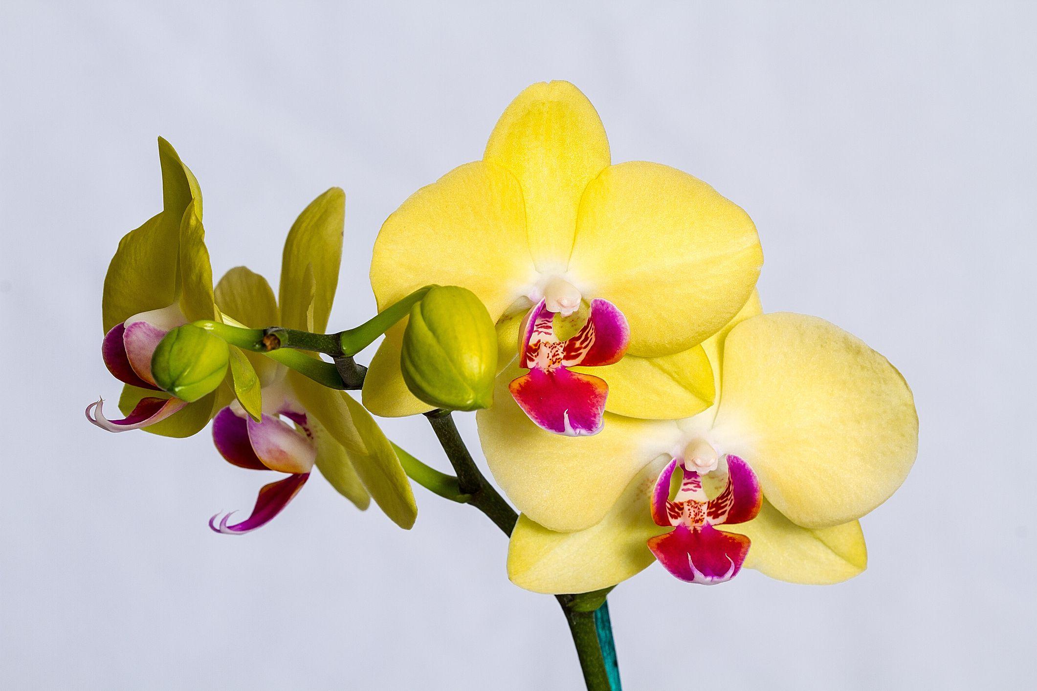 Hình ảnh Hoa Phong Lan vàng