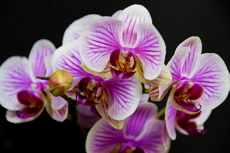 Hình ảnh hoa Phong Lan