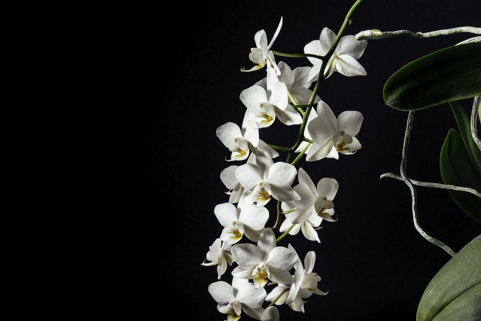 Hình ảnh nhánh hoa Lan đẹp