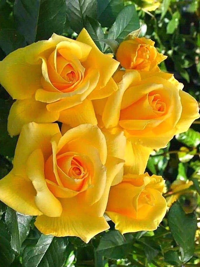 Hình ảnh những bông hoa hồng vàng đẹp