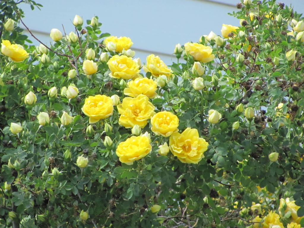 Hình ảnh vườn hoa hồng vàng đẹp