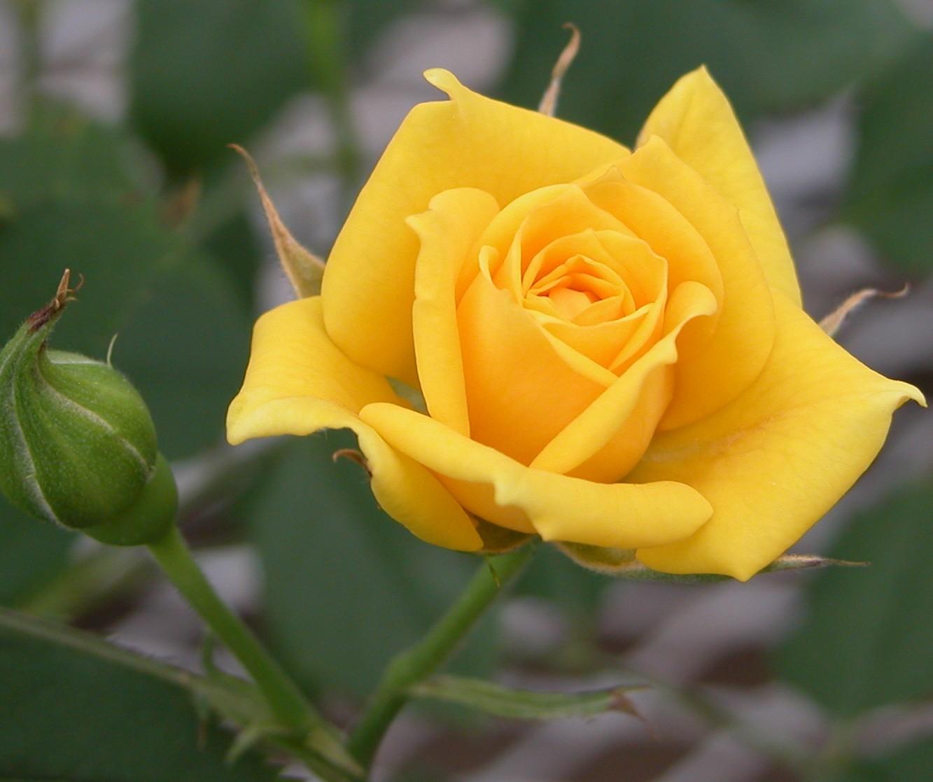 Hình bông hoa hồng vàng cực đẹp