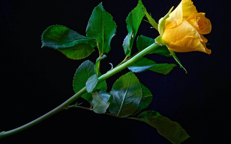 Hình bông hoa hồng vàng