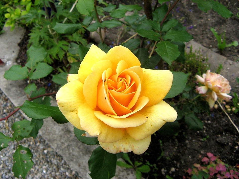 Hình hoa hồng vàng cực đẹp