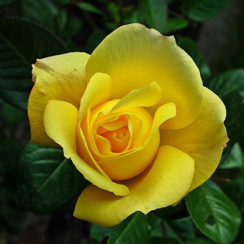 Hình hoa hồng vàng