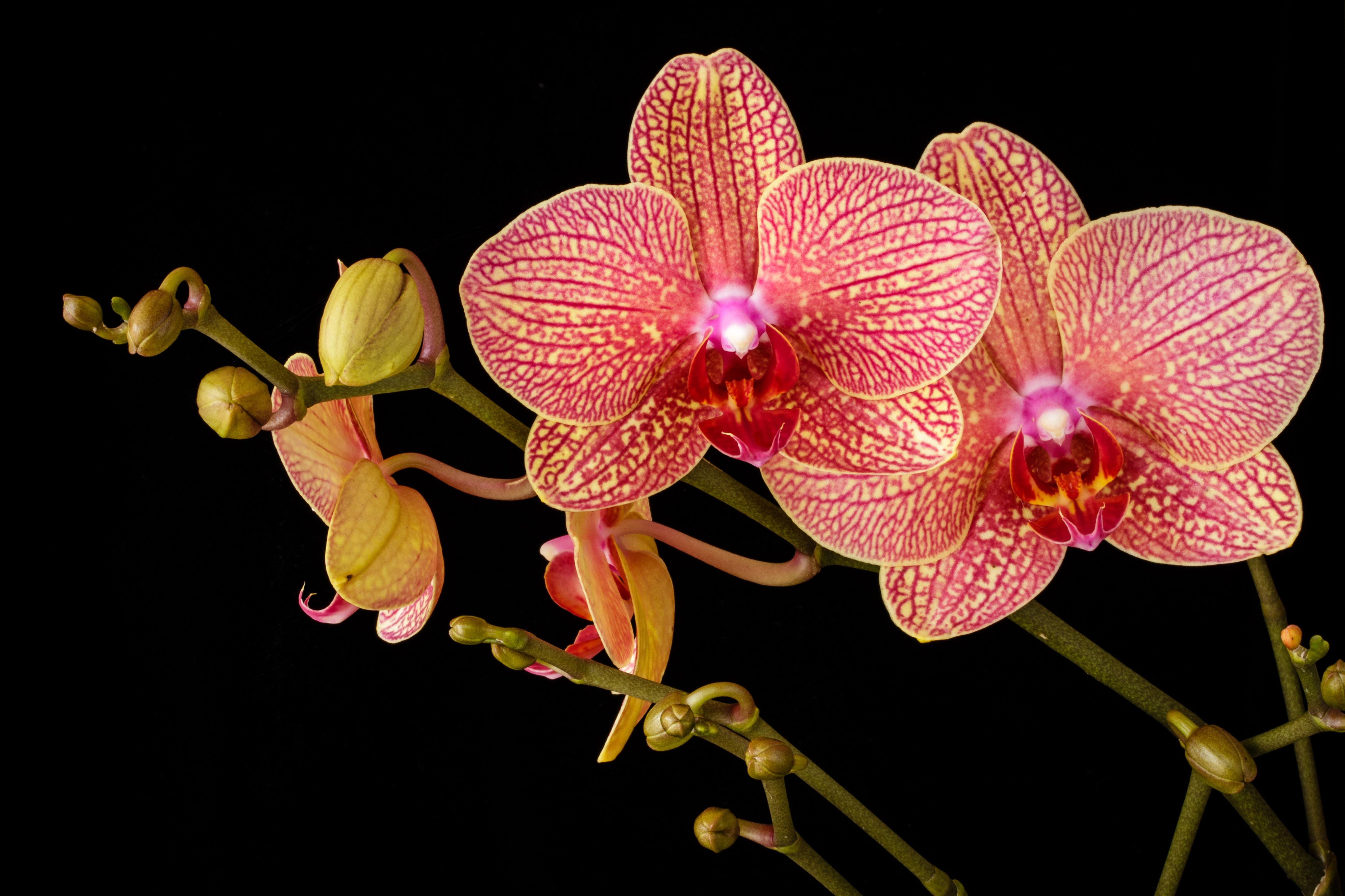 Hình hoa Phong Lan tuyệt đẹp