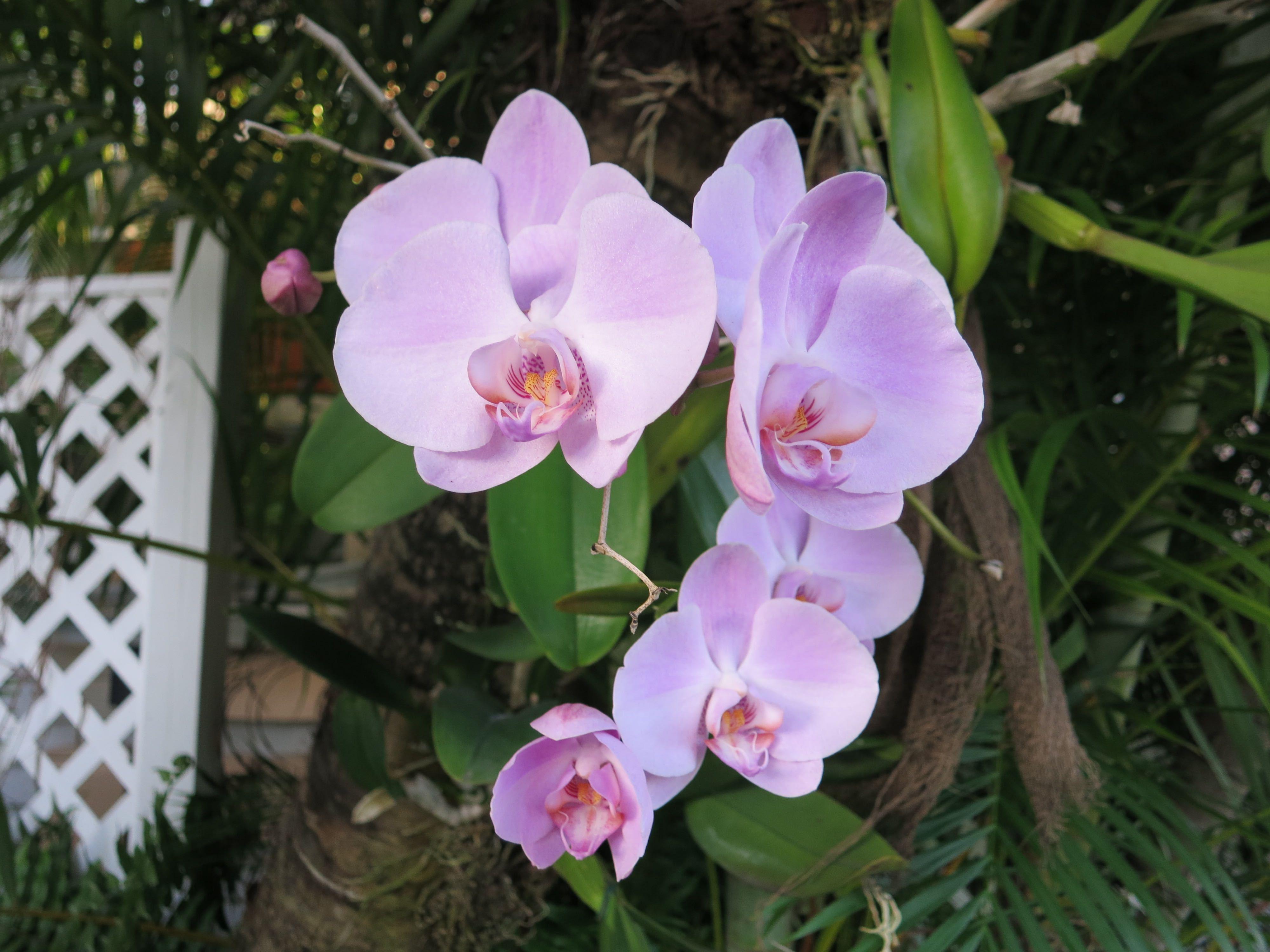 Hình hoa Phong Lan