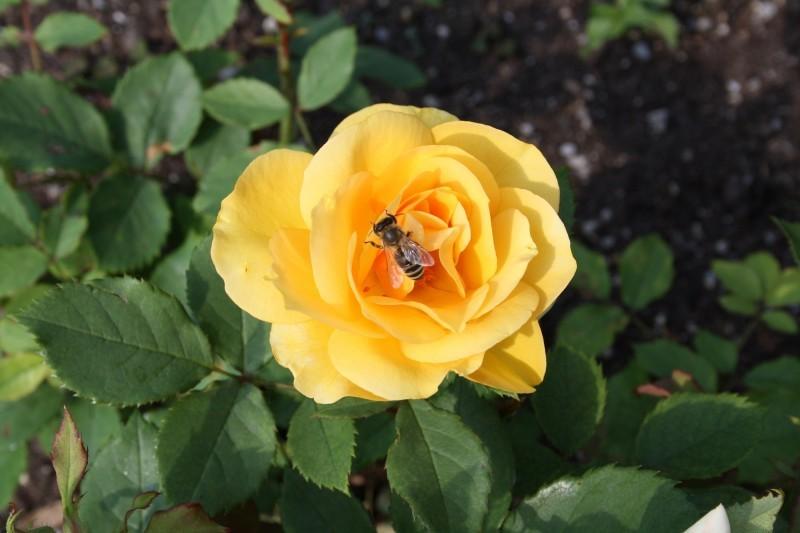 Hoa Hồng vàng đẹp nhất