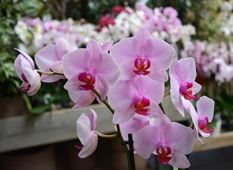 Hoa Phong Lan đẹp